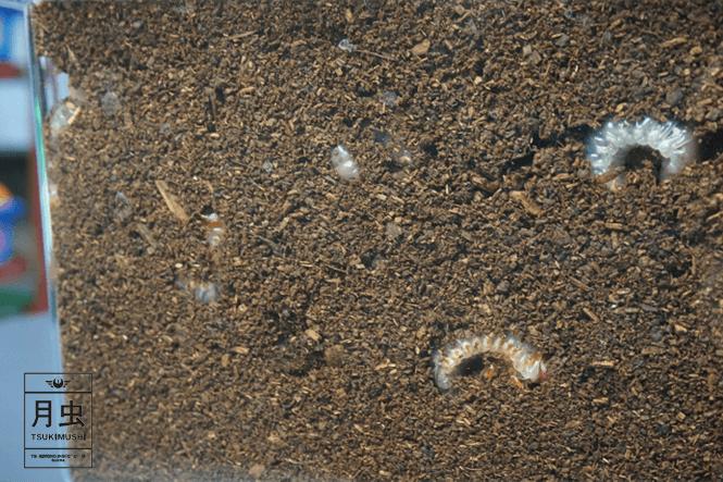 土 カビ カブトムシ