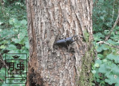 コクワガタ木の表面②