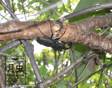 ノコギリクワガタ木の枝