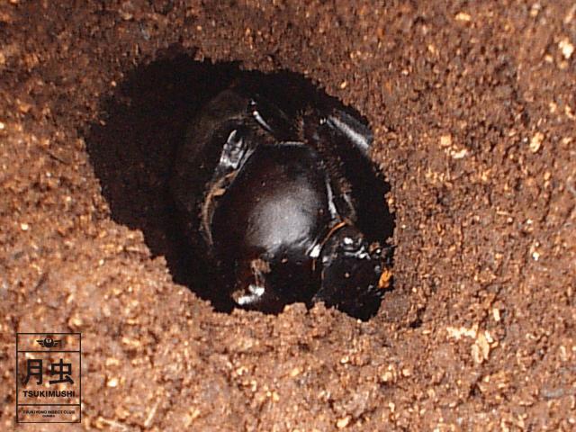 蛹室内で羽化