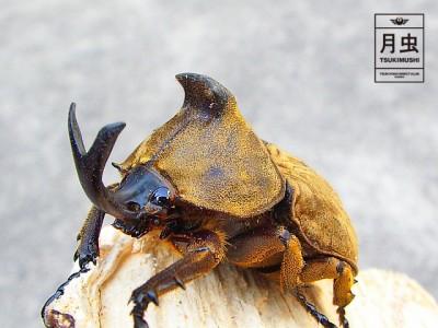 サビイロカブトの飼育に挑戦!立派な成虫を育ててみよう!